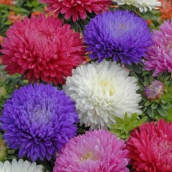 Chinese Aster Red 1.95 - 2
