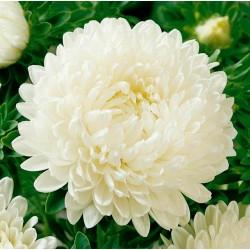 Semillas de Reina margarita blanco 1.95 - 2