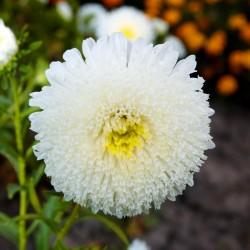 Semillas de Reina margarita blanco 1.95 - 3