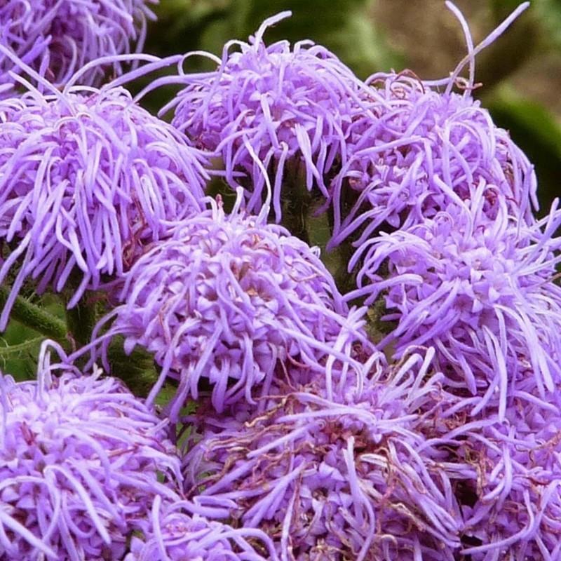 Flossflower Seeds 2.25 - 6