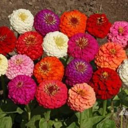Dwarf Zinnia Seeds 1.45 - 3