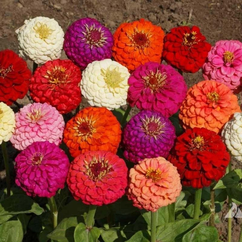 Semillas de Zinnia Lilliput 1.45 - 3