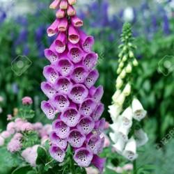 Fingerhut lila Samen 1 - 3