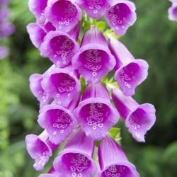 Fingerhut lila Samen