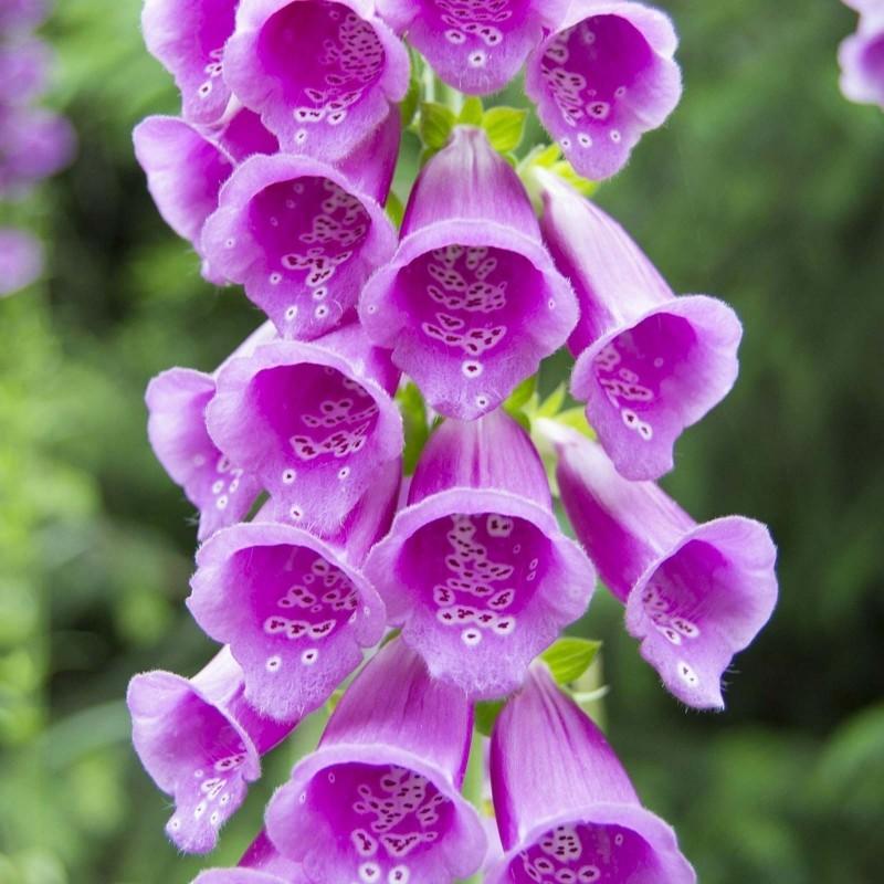 Fingerhut lila Samen 1 - 5