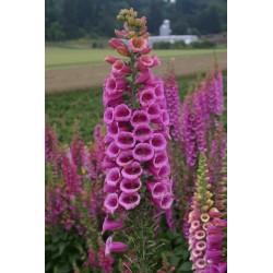 Foxglove Seeds 1 - 4
