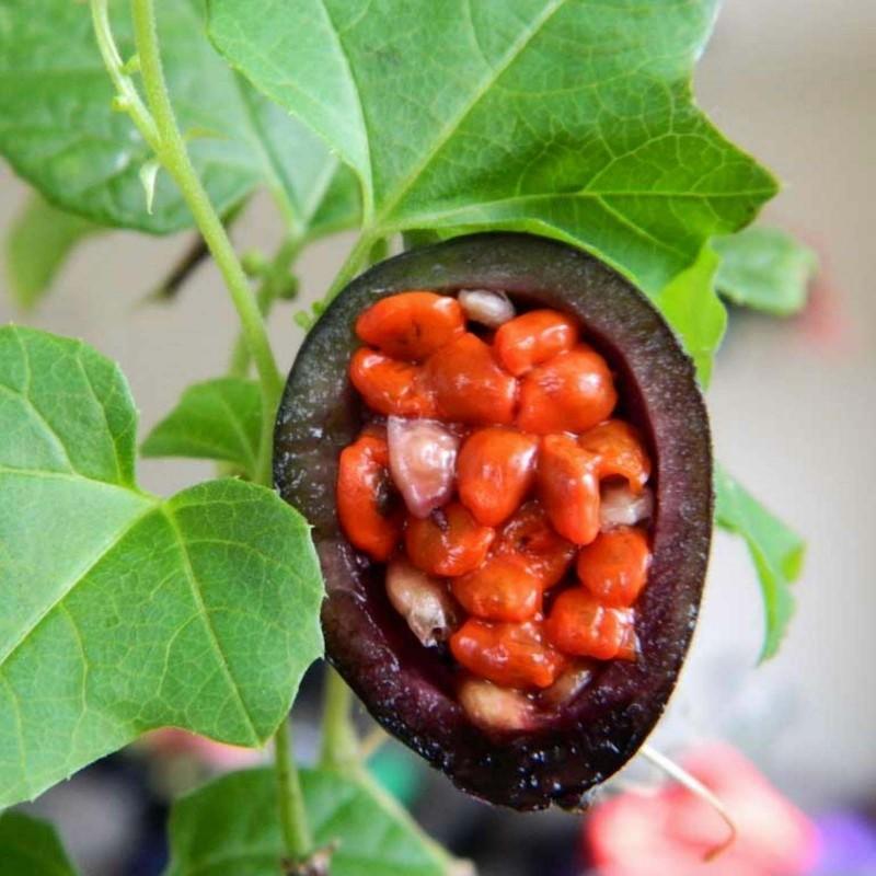 Blue Sweet Calabash Seeds (Passiflora morifolia) 1.7 - 14