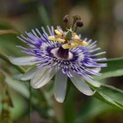 Blue Sweet Calabash Seeds (Passiflora morifolia) 1.7 - 1