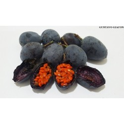 Blue Sweet Calabash Seeds (Passiflora morifolia) 1.7 - 2