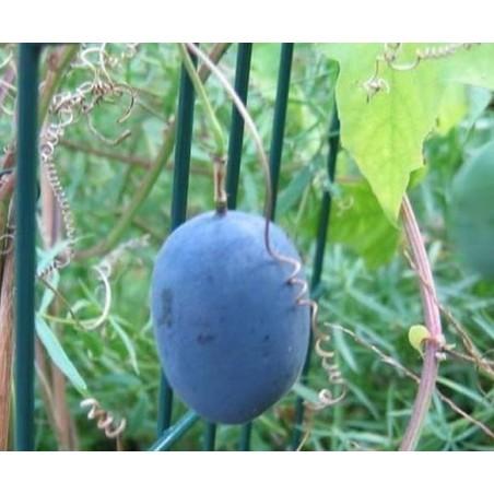Semillas De Passiflora Morifolia 1.7 - 3