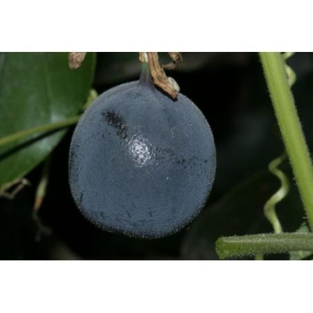 Blue Sweet Calabash Seeds (Passiflora morifolia) 1.7 - 4
