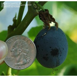 Σπόροι Passiflora morifolia 1.7 - 5