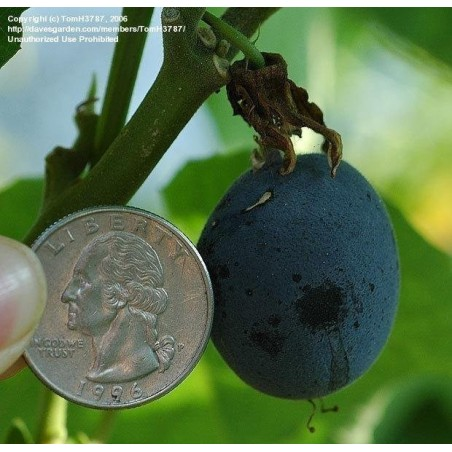 Maulbeerblättrige Passionsblume Samen 1.7 - 5