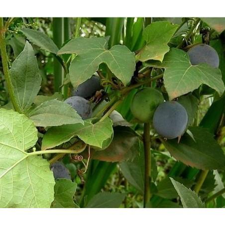 Blue Sweet Calabash Seeds (Passiflora morifolia) 1.7 - 7