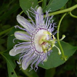 Semi di Passiflora morifolia 1.7 - 8