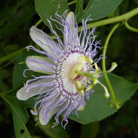 Semillas De Passiflora Morifolia 1.7 - 8