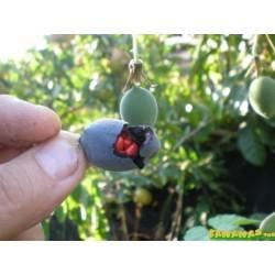 Sementes de Passiflora morifolia 1.7 - 9