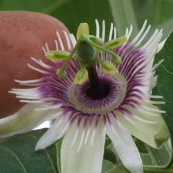 Blue Sweet Calabash Seeds (Passiflora morifolia) 1.7 - 10