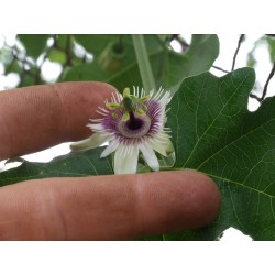 Blue Sweet Calabash Seeds (Passiflora morifolia) 1.7 - 11