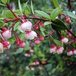 Chilensk Guava Frön Myrtus ugni (Ugni molinae) 2.8 - 1