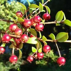 Chilenische Guave Samen (Ungi molinae) 2.8 - 2