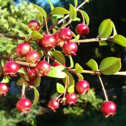 Chilensk Guava Frön Myrtus ugni (Ugni molinae) 2.8 - 2