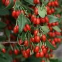 Semillas Ajo Cebollino Chino (Allium tuberosum)