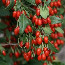 Graines Goji Berry (Lycium chinense) Rusticité: -45°C 1.55 - 2