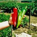 Röd Maca Frön (Lepidium meyenii) Afrodisiakum