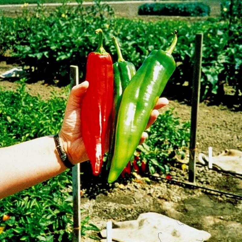 Sementes de pimenta Big Jim Numex 1.75 - 1