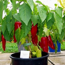 Sementes de pimenta Big Jim Numex 1.75 - 2