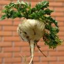 Zambianische Gurke Samen (Cucumis Zambianus)