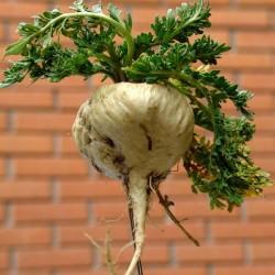 Semillas de Maca (Lepidium meyenii) 2.2 - 2