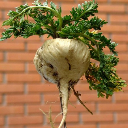 Maca - Maka Seme (Lepidium meyenii) 2.2 - 2