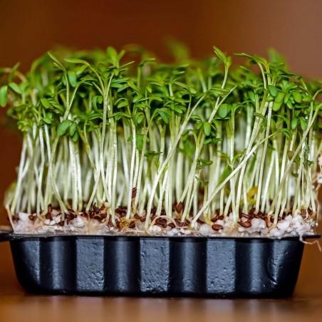 Graines de courge de Siam, courge à feuilles de figuier (Cucurbita ficifolia)