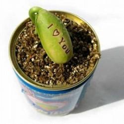 Magische Zauberbohne Bohne Saatgut Samen 1.55 - 2
