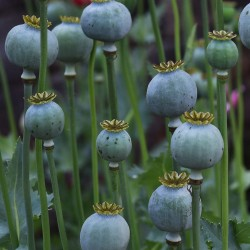 Graines de Pavot somnifère blanc ou Pavot à opium 2.5 - 3