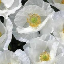 Common Garden White Poppy Seeds 2.5 - 4