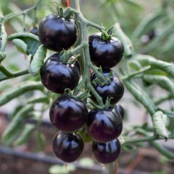 "Blue Tomato Seeds ""Bosque Blue"" 2.5 - 3"