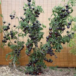INDIGO ROSE Tomato Seeds 2.5 - 2