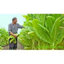 Hav. Gold Tobacco 1000 Seeds