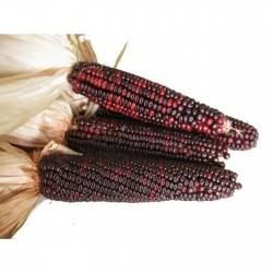 Bloody Butcher Sweetcorn Seeds 1.95 - 3