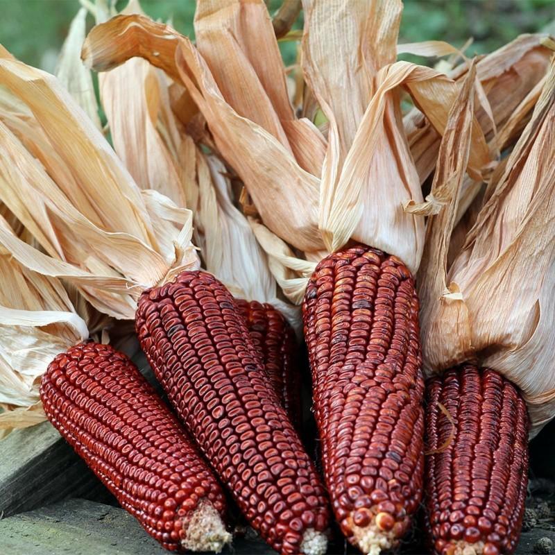 Семена красной Кукурузы Кровавый Мясник 1.95 - 5