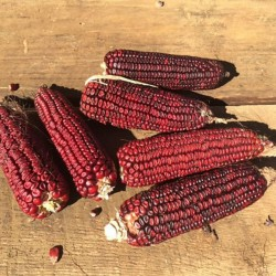 Семена красной Кукурузы Кровавый Мясник 1.95 - 4