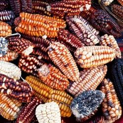 Peruanische Riesen rote Sacsa Kuski Mais Samen 3.499999 - 1