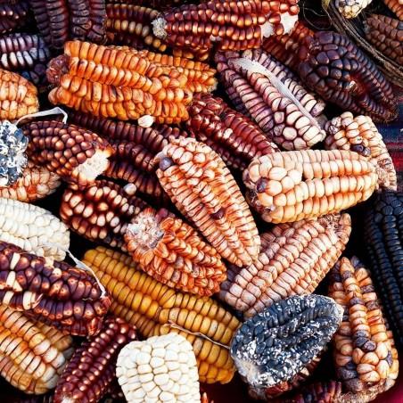 Semillas de maíz gigante peruano Sacsa Kuski 3.499999 - 1