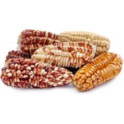 Semillas de maíz gigante...