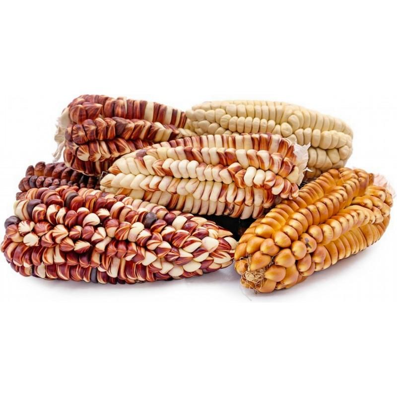 Semillas de maíz gigante peruano Sacsa Kuski 3.499999 - 11