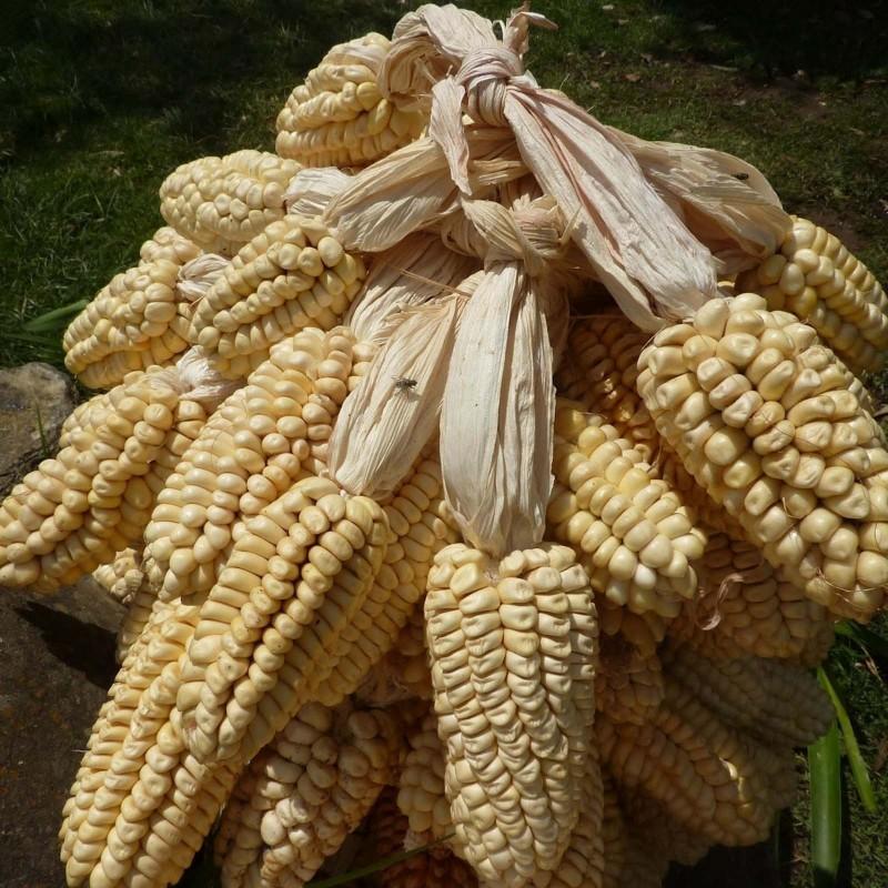 Semillas de maíz Gigante peruano Chullpi - Cancha 2.45 - 1