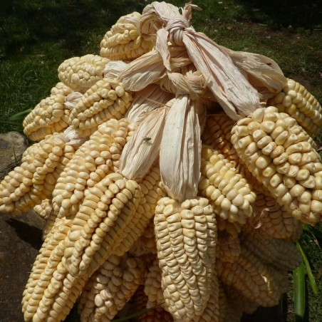 Giant Peruvian Chullpi Corn - Maiz Seeds